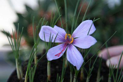 saffron crocus bulbs (Crocus sativus)