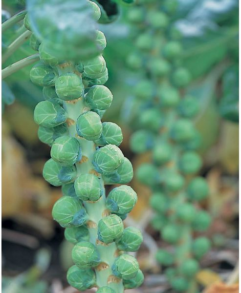 brussels sprout (brussels sprout 'Maximus' F1)