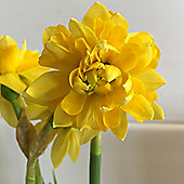 10 x Narcissus 'Tete Deluxe' (Daffodil) Bulbs - Perennial Spring Flowers