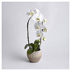 Cascading Phalaenopsis Orchid in ceramic pot