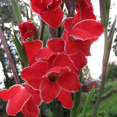 30 x Gladioli 'Atom' Bulbs - Perennial Orange Summer Flowers (Corms)
