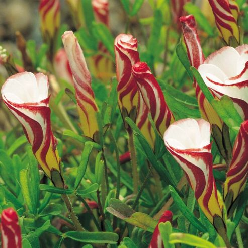 Oxalis versicolour - 5 bulbs