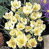 30 x Crocus Chrystanthus 'Cream Beauty' Bulbs - Perennial Spring Flowers (Corms)