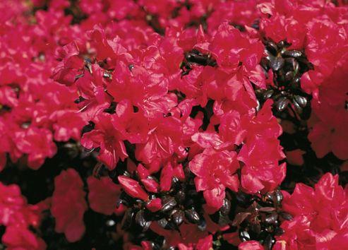 evergreen azalea (Rhododendron 'Maruschka')