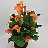 3 x Zantedeschia 'Mercedes' Bulbs - Perennial Orange Calla Lily Summer Flowers (Corms)