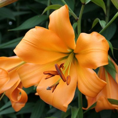 3 x Giant 'African Queen' Lily Bulbs - Perennial Orange Summer Flowers