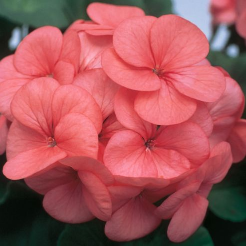 Geranium 'Horizon Coral Spice' F1 Hybrid - 1 packet (6 seeds)