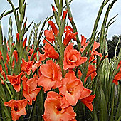 10 x Gladioli 'Wig's Sensation' Bulbs - Perennial Cottage Garden Summer Flowers (Corms)